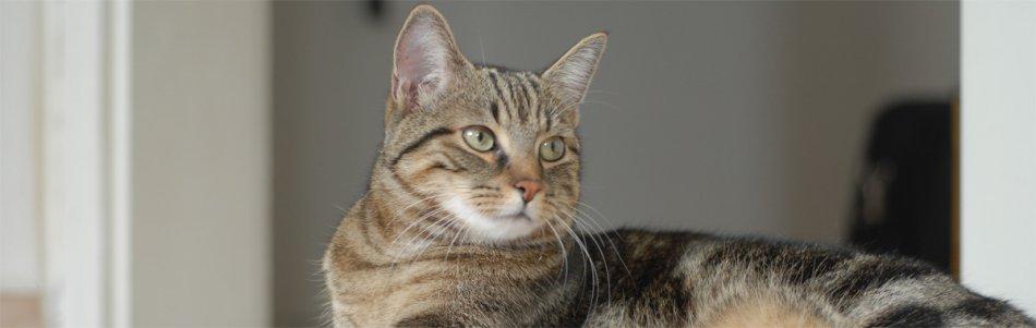 Европейская короткошерстная кошка описание фото
