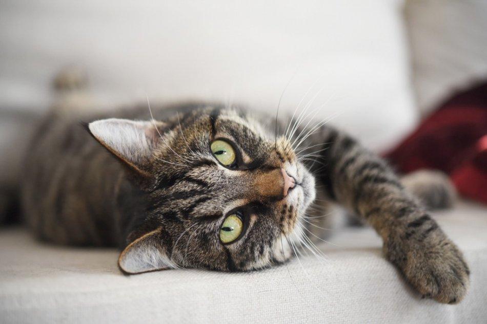 Европейская короткошерстная кошка лежит фото