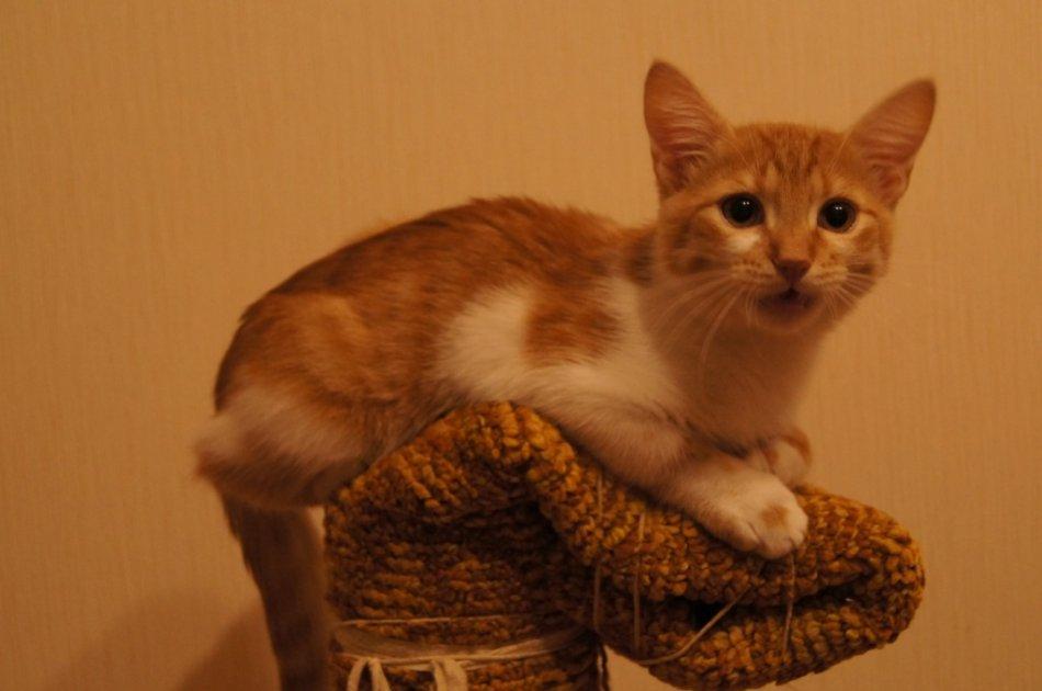 Бело-рыжий котенок фото