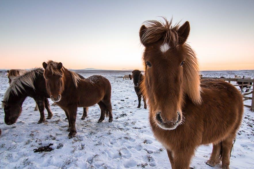 Исландские лошади на снегу фото