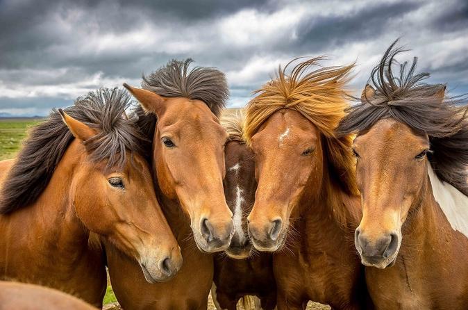 Исландские лошади фото