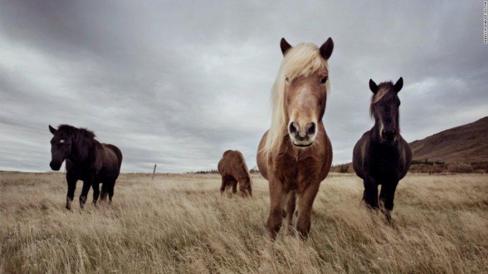 Исландские лошади на пастбище фото