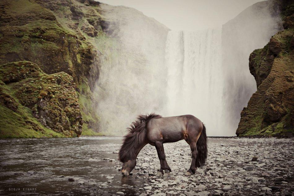 Исландская лошадь в водопада фото