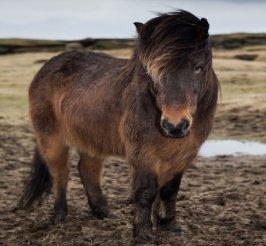 Исландская