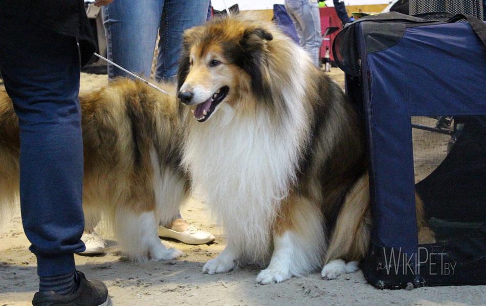 На фото: собаки породы длинношерстный колли