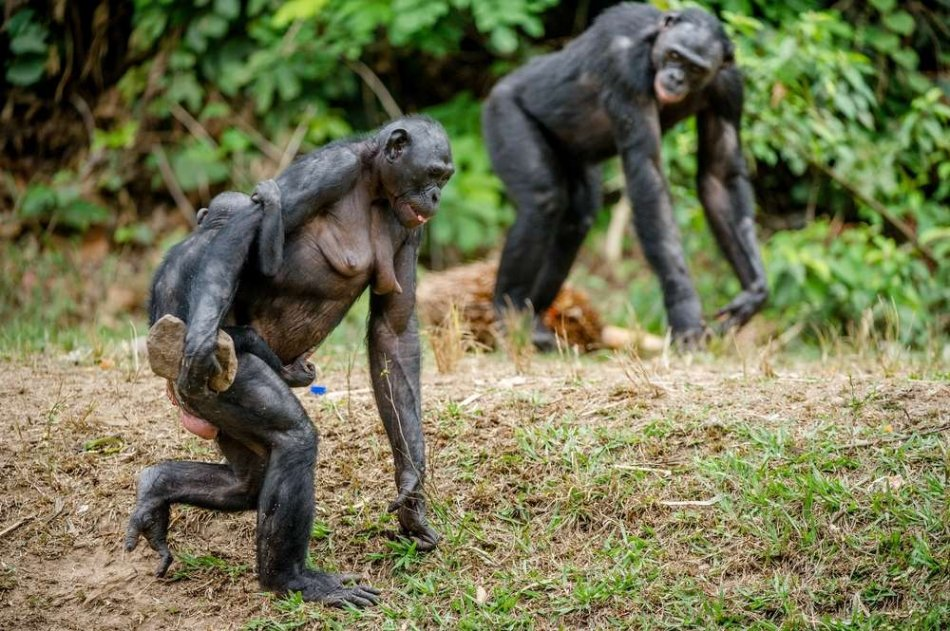 Карликовые шимпанзе бонобо фото