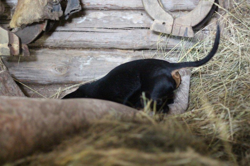 Черно-подпалая такса роет нору фото