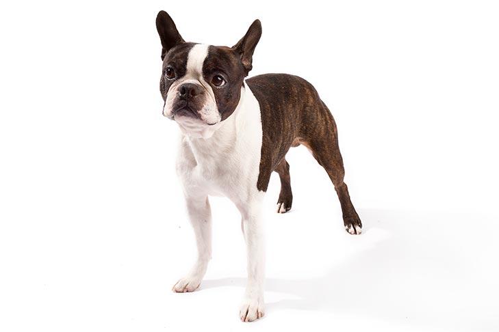 Собака породы бостон-терьер фото