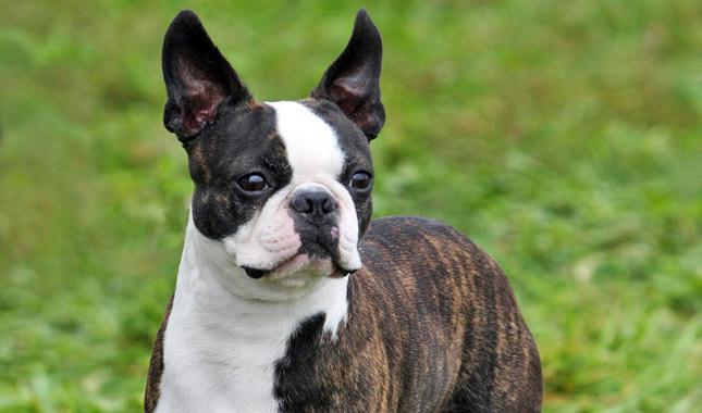 Бостон-терьер собака фото