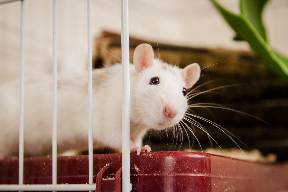 Белая декоративная крыса фото