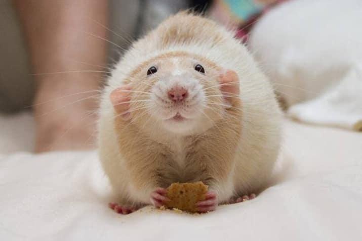 Декоративная крыса держит лакомство фото