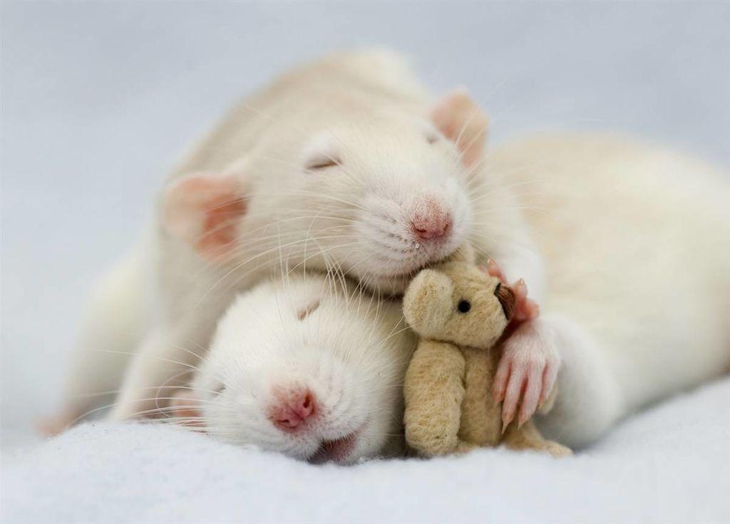 Декоративная крыса: уход и содержание