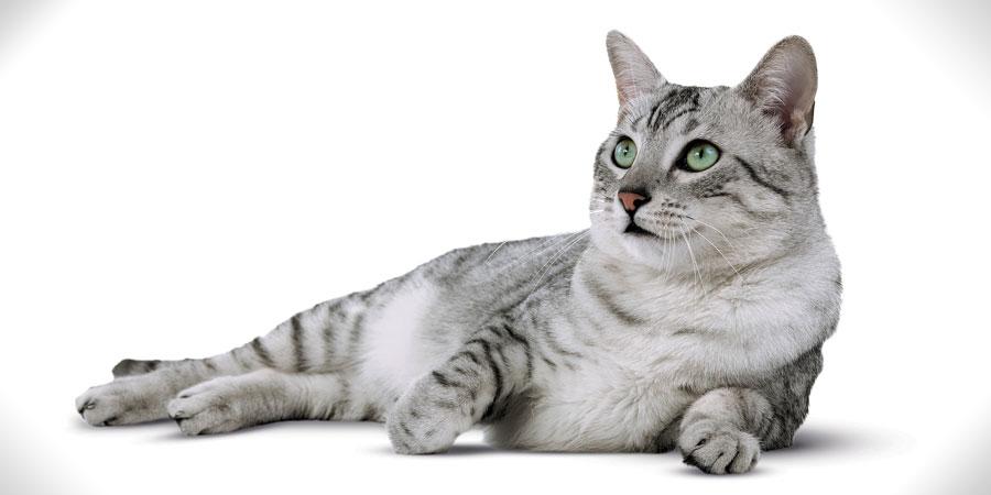 Египетская мау кошка на белом фоне фото