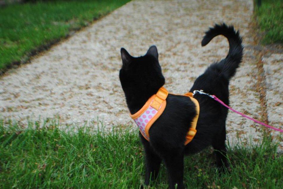 Черная кошка гуляет на поводке фото