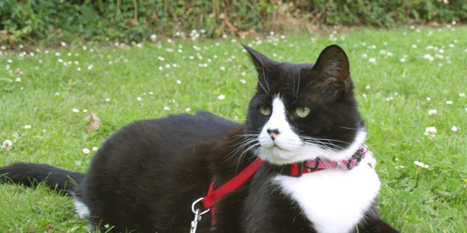Прогулка кошки на поводке фото