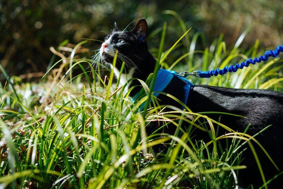 Кошка на поводке гуляет по траве фото