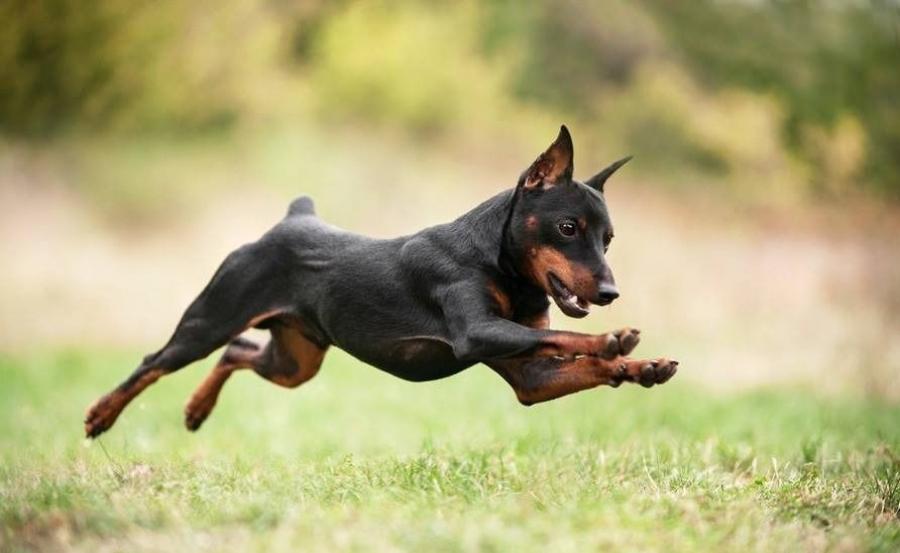 Цвергпинчер в прыжке фото
