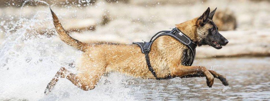 Собака в шлейке фото
