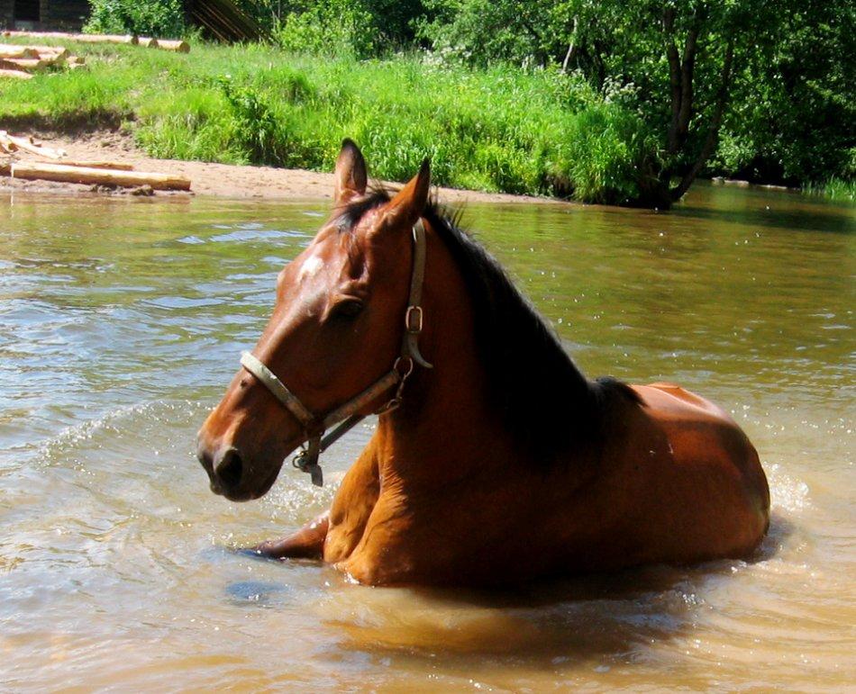 Гнедая лошадь купается фото