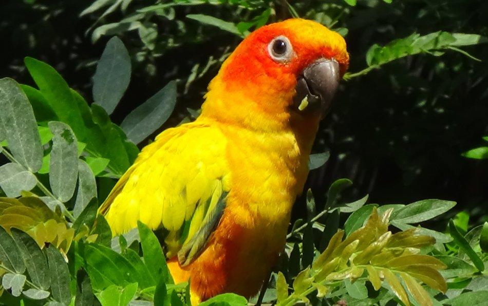 Попугай солнечная аратинга фото
