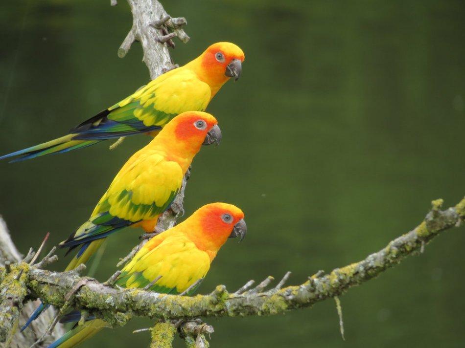 Попугаи солнечная аратинга фото