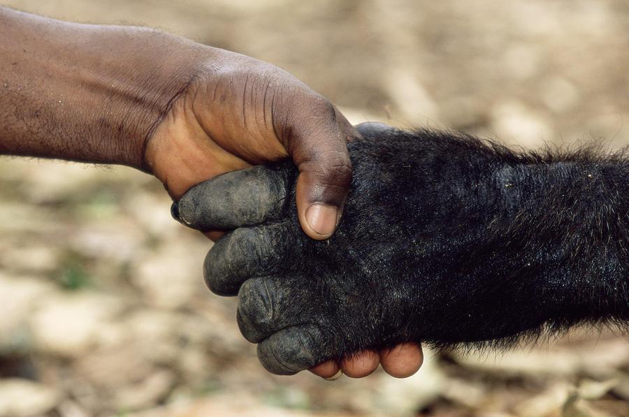 Обезьяна пожимает руку человеку фото