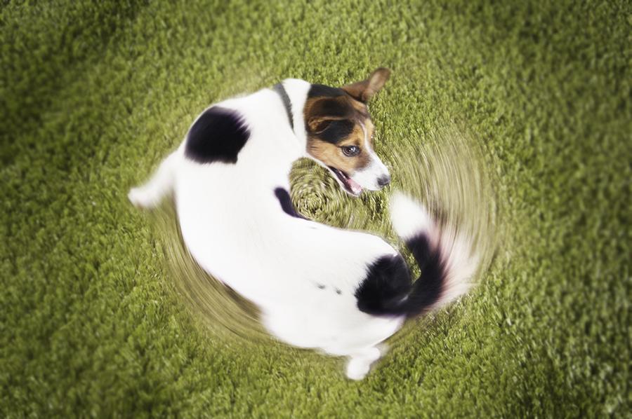 Навязчивая двигательная стереотипия у собаки фото