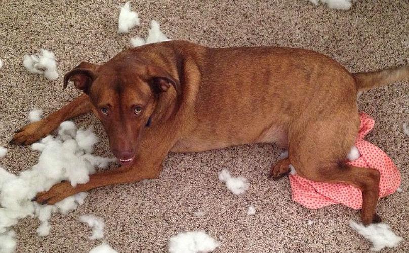 Плохое поведение собак фото