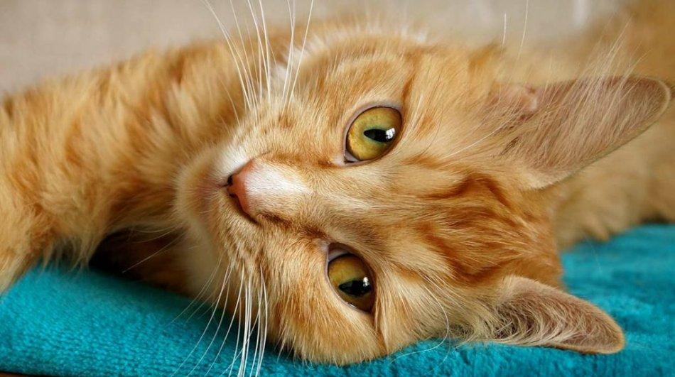 Рыжая кошка с желтыми глазами фото