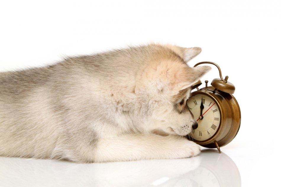 Щенок хаски смотрит на часы фото