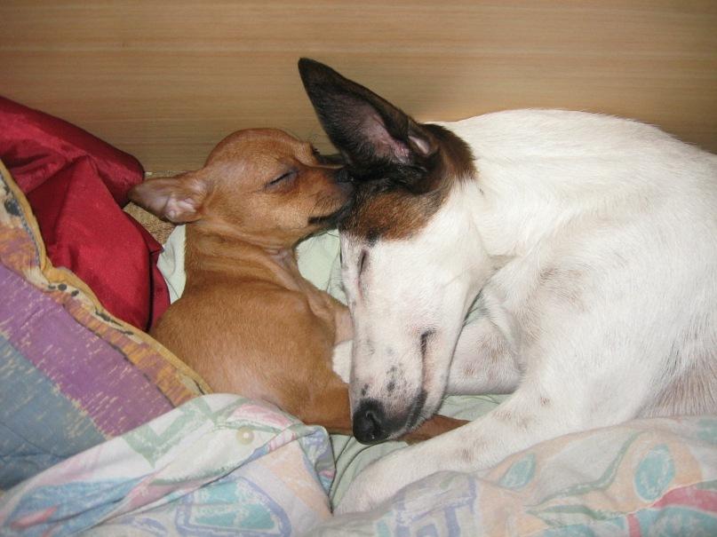 Гладкошерстный фокстерьер и русский той спят вместе фото