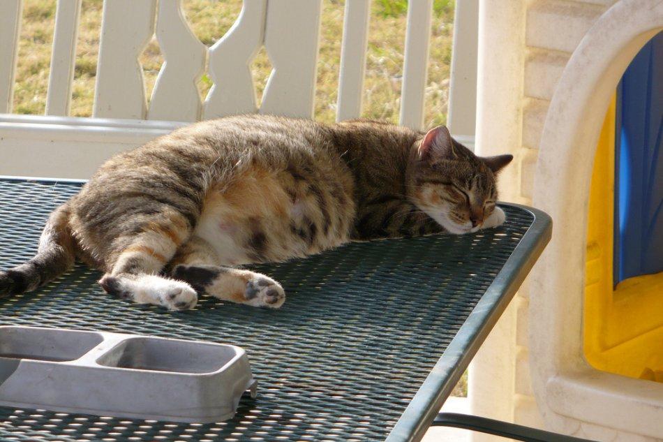 Беременная кошка фото