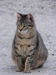 Как определить беременность кошки на ранних сроках в домашних условиях