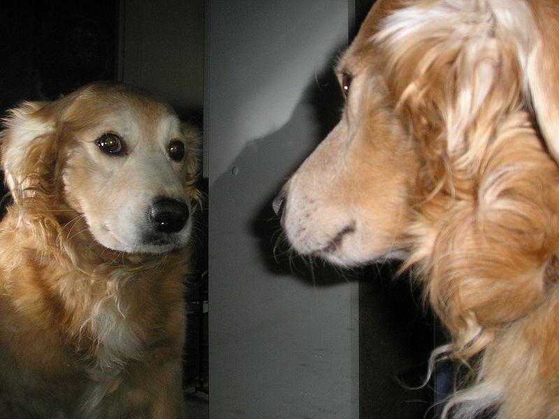 Ретривер смотрит на себя в зеркало фото