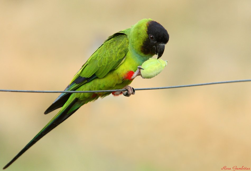 Черноголовый попугай фото