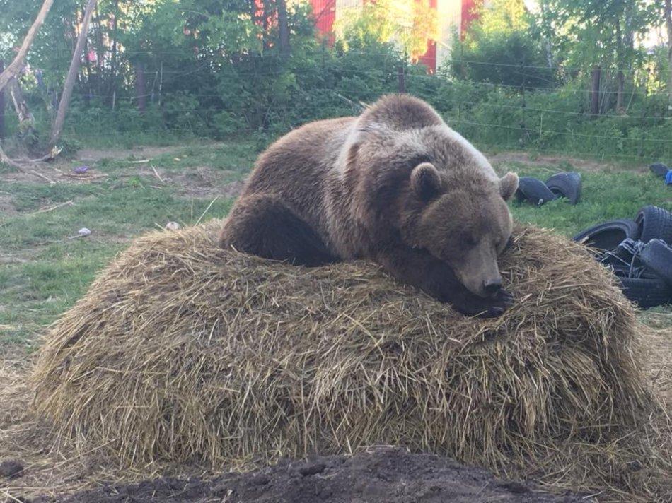 Медведь лежит на соломе фото
