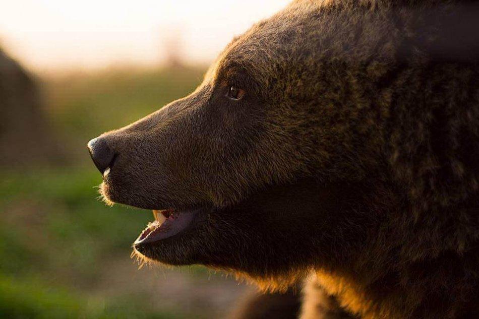 Медведь в профиль фото