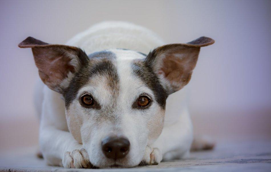 Грустная собака лежит фото