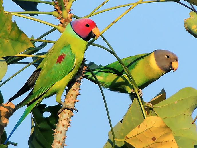 Красноголовые (сливоголовые) кольчатые попугаи фото