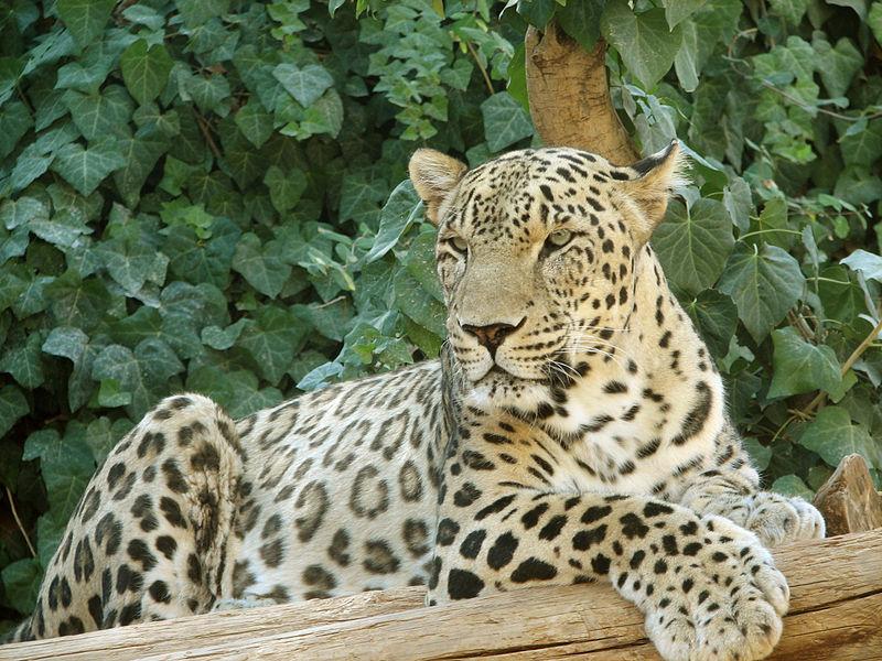 Леопард лежит фото