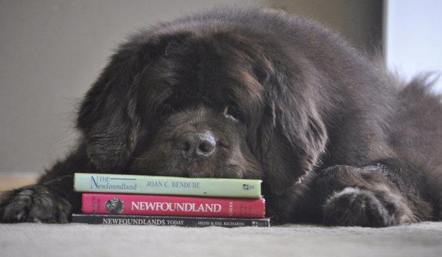 Как выбрать щенка ньюфаундленда