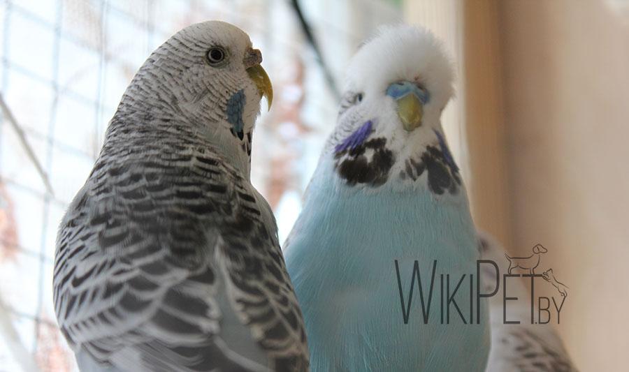 волнистые попугаи фото