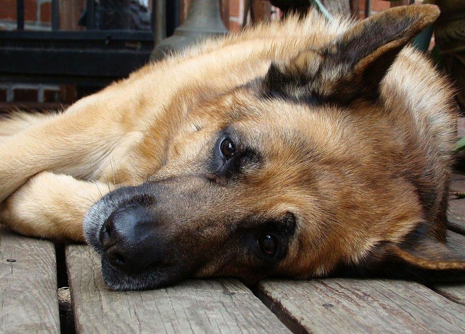 Боли у собак фото