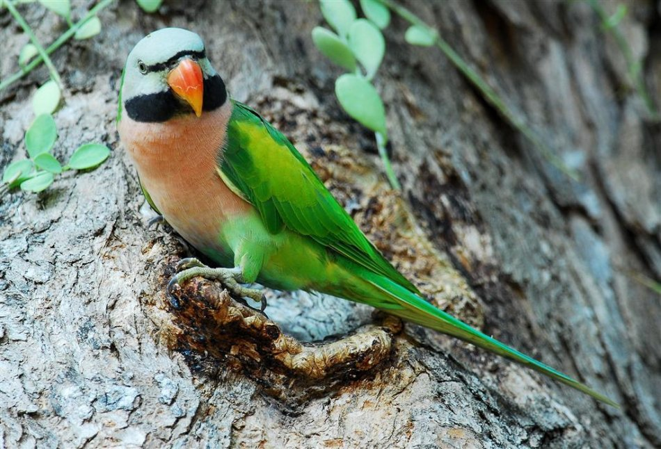Розовогрудый кольчатый попугай фото