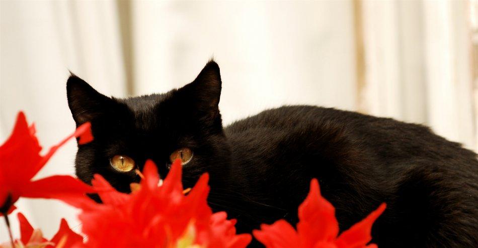 Черная кошка и красные цветы фото