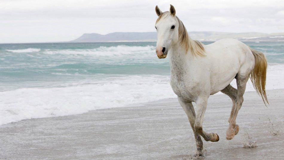 белая лошадь бежит по берегу моря