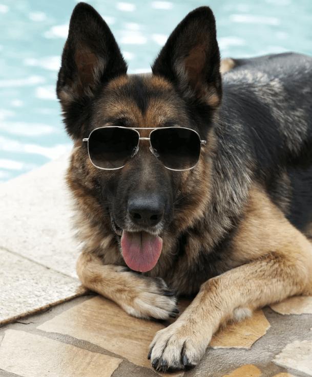 пес,собака,немецкая овчарка,богатые животные