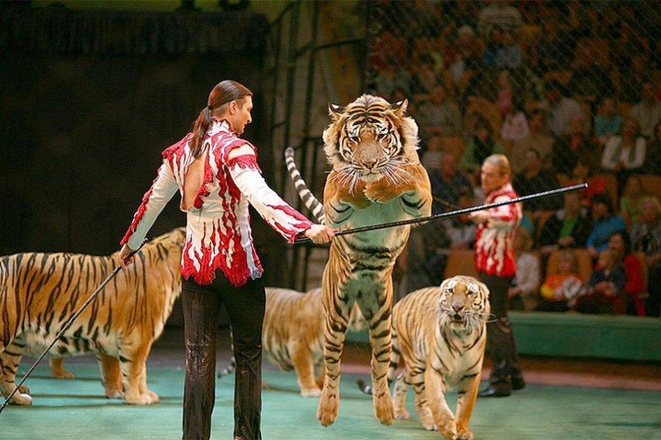 Дрессированные тигры в цирке фото
