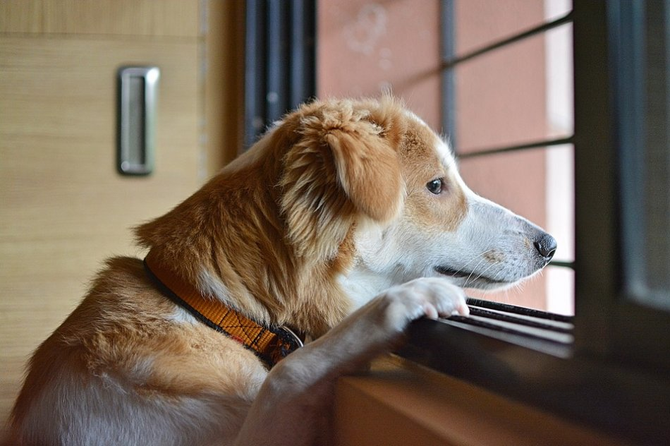 Собака ждет хозяина у окна фото