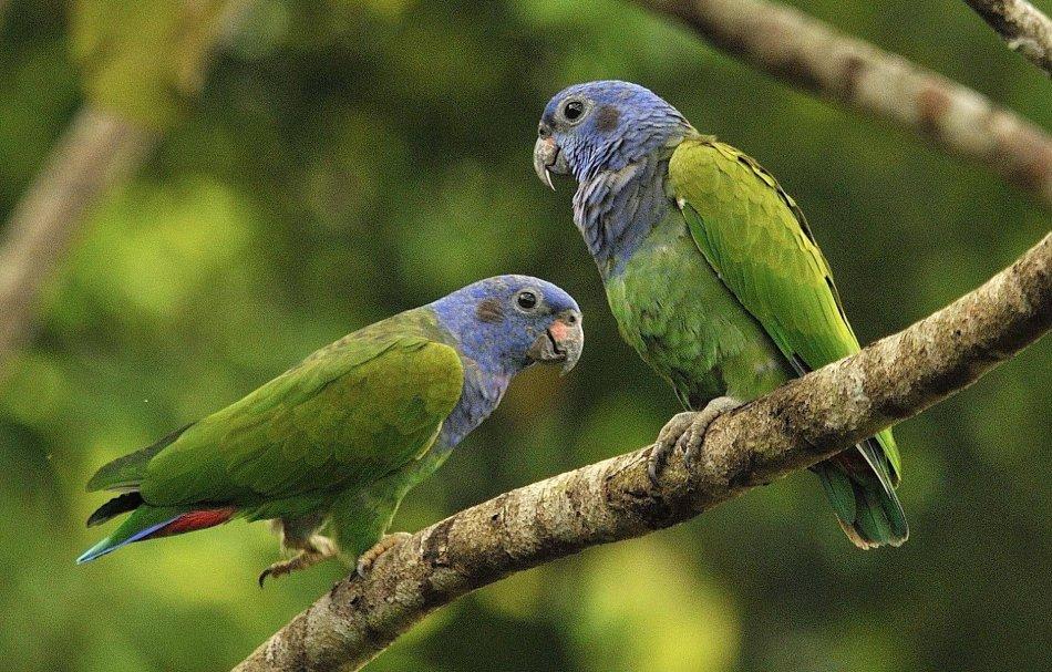 Пара синеголовых красногузых попугаев фото
